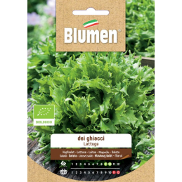 Batavia Salat - Lattuga dei Ghiacci BIO Samen - Regionen Italiens