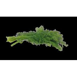 Dille - Regionen Italiens