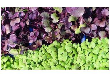 ▷ Microgreens kaufen Shop