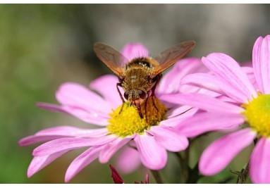 Bee friendly - Blumen für die Bienen